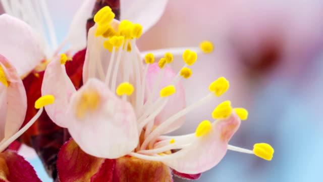 Aprikos blomma blommar i en time lapse Hd 1080 video