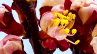 Apricot flower blooming in a time lapse Hd 1080 video
