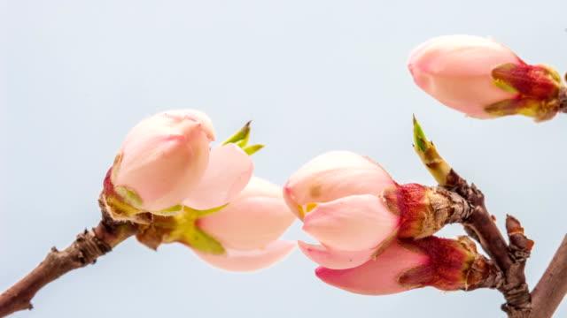 Apricot Blumen erblühen
