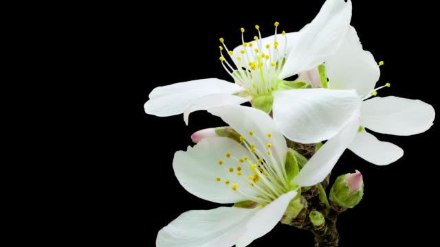 Aprikos blomma blommar med en alfakanal