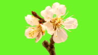 Apricot flower blooming  with an alpha channel