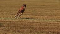 Arabian colt running in a field
