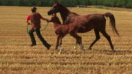 Arabian horse and colt running in a field