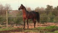Arabian Horse running in a pen