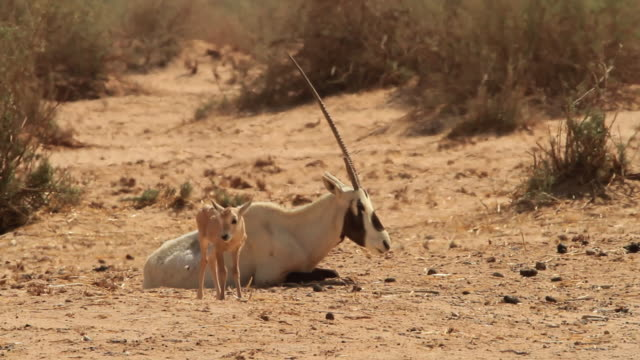 Arabian Oryx (Oryx leucoryx)- female and young
