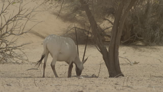 Arabian oryx (Oryx leucoryx) scrapes away sand and lies down in desert, UAE