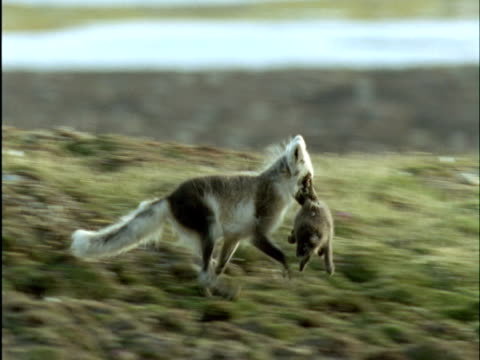 Arctic fox carries pup into den, Banks Island, Canada