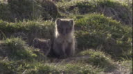 Arctic fox cubs call from the entrance of their den in Arctic Canada. Available in HD.