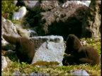 Arctic fox cubs explore and play fight by rocks, Iceland