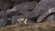Arctic fox cubs play and run on mossy rocks near their den in Svalbard, Norway.
