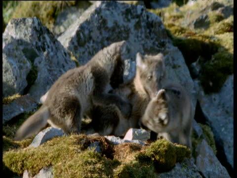 Arctic fox cubs play fight, Svalbard