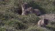 Arctic fox cubs poke their heads outside their den in Arctic Canada. Available in HD.