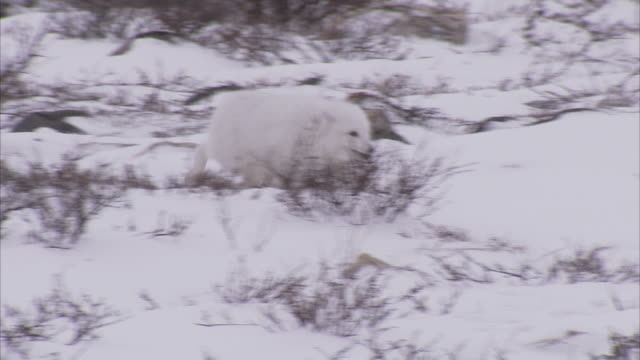 Arctic fox, (Vulpes lagopus) in winter coat on snow, Churchill, Manitoba, Canada