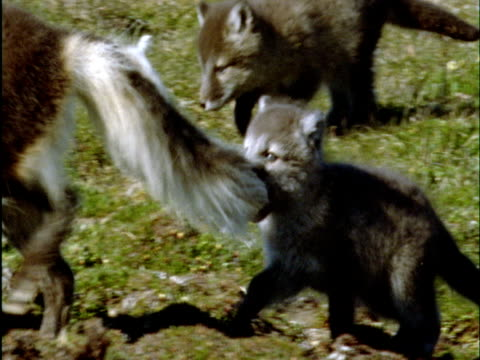 Arctic fox pup bites onto parent's tail on tundra, Banks Island, Canada