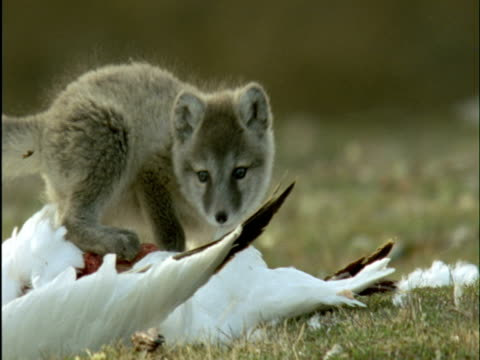 Arctic fox pups feed on snow goose carcass, Banks Island, Canada