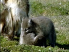 Arctic fox pups play fight on tundra, Banks Island, Canada