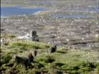 Arctic fox pups play near snow goose colony, Banks Island, Canada