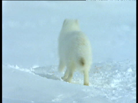 Arctic fox runs in snow towards carcass, Svalbard