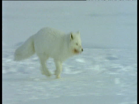 Arctic fox runs, meets another fox then runs to carcass, Svalbard