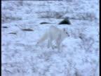 Arctic fox runs over snow, Churchill