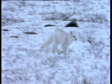Arctic fox runs over snow, Churchill
