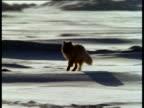 Arctic fox runs over snow towards camera