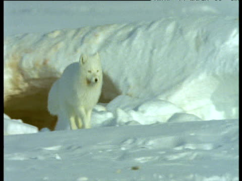Arctic fox runs over snow towards carcass, Svalbard