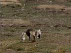Arctic fox steals and buries snow goose egg on tundra, Banks Island, Canada