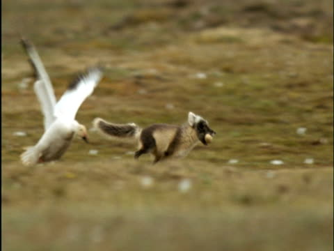 Arctic fox steals egg from snow goose nest on tundra, Banks Island, Canada
