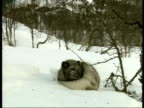 MS Arctic Fox, Vulpes lagopus, with dark fur, sitting in snow, Arctic Circle