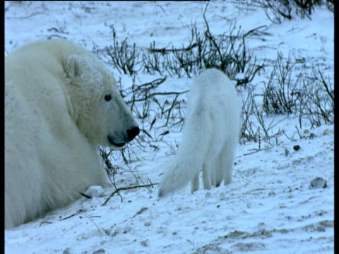 Arctic fox walks around resting polar bears, Churchill