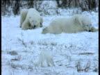 Arctic fox walks around resting polar bears, polar bear chases it away, Churchill
