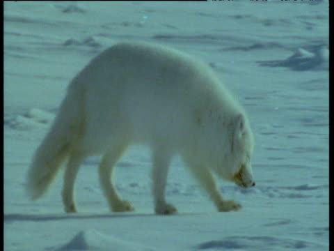 Arctic fox walks over ice and sniffs at snow, Svalbard