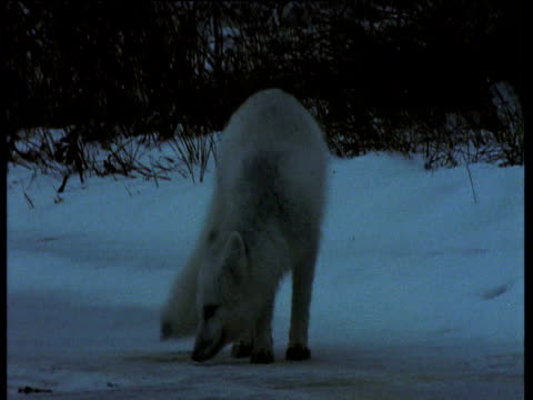 Arctic fox walks over snow pausing to sniff occasionally, Churchill