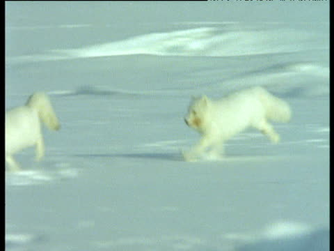 Arctic foxes chase over snow, Svalbard