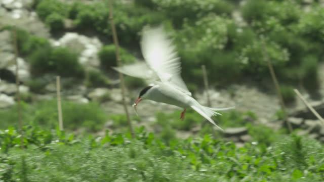 Arctic tern (Sterna paradisaea) carries fish prey to nest, Farne Islands, England