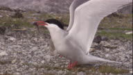 Arctic tern chick begs an adult for food on the tundra of Arctic Canada. Available in HD.