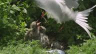 Arctic tern (Sterna paradisaea) feeds chick in nest, Farne Islands, England