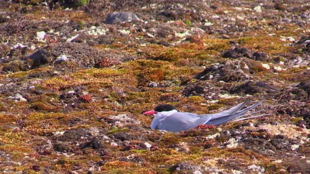 Arctic Tern on nest, Alkefjellet bird cliffs, Svalbard, Norway