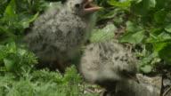 Arctic tern (Sterna paradisaea) returns to chicks in nest, Farne Islands, England