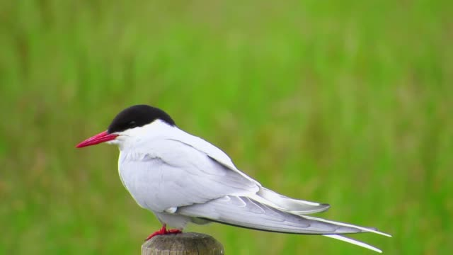 Arctic Tern Stand On The Stake