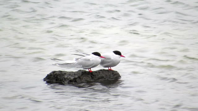 Arctic Tern Take A Rest