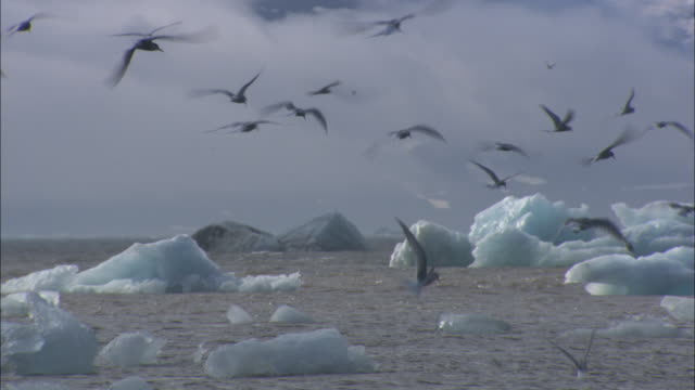 Arctic terns feed off the icy coast in Norway.