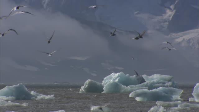 Arctic Terns feed off the icy coastline near Svalbard Island, Norway.