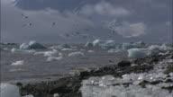 Arctic terns feed off the icy coastline on Svalbard Island, Norway.