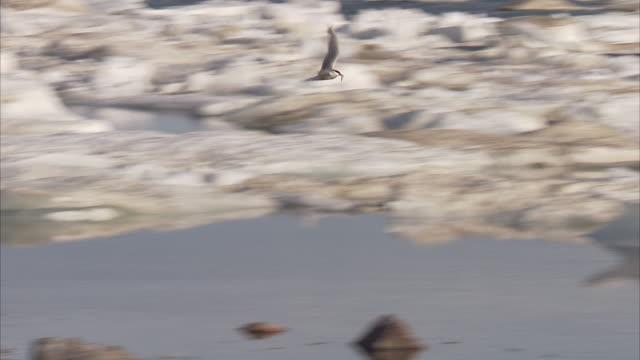 Arctic terns(Sterna paradisaea) Manning Island, Nunavut, Canada