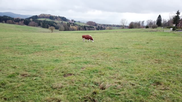 Areal shot of a singel cow on a meadow in autumn