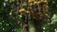 Areca nut tree