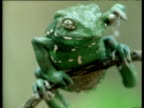 Argentinean Varnishing Frog rubs face with forelimbs and stares at camera.