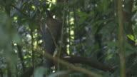 MS Argus pheasant / Bukit Lawang, North Sumatra, Indonesia